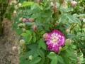 burgundian-rose
