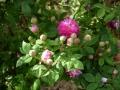 burgundian-rose1