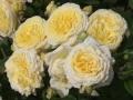 b_162 Karl-Ploberger-Rose  (ADR - Rose 2008)