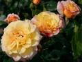 b_30 Rugelda  (ADR - Rose 1992)