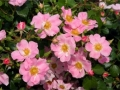 b_35 Pink Bassino  (ADR - Rose 1993)