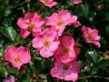 b_52 Felicitas  (ADR - Rose 1996)