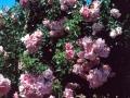 b_57 Manita  (ADR - Rose 1997)