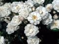 b_61 Brautzauber  (ADR - Rose 1999)