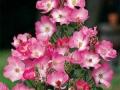 b_76 Phlox Meidiland  (ADR - Rose 2001)