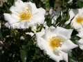 b_95 White Haze  (ADR - Rose 2003)