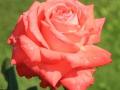Königin der Rosen