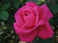Rosa 'Maria Callas'