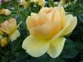 Goldene Rose+Gold FL 44 (33)