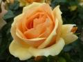 Goldene Rose+Gold FL 44 (44)