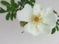 Rosa x Pteragonis
