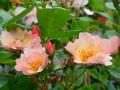 rose-jb-leroux-2