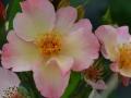 rose-jb-leroux-4