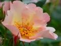 rose-jb-leroux-6