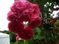 rosarium-uetersen