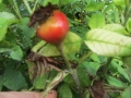 rose-du-roi-à-fleurs-pourpres
