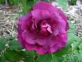 Rose-du-Roi-a-Fleur-Pourpres
