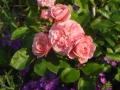 Rosa 'Baillando´® Tantau 2008  (9)