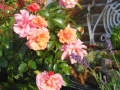 Rosa 'Aprikola' ® W.Kordes Söhne 2000 (1)