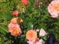 Rosa 'Aprikola' ® W.Kordes Söhne 2000 (4)