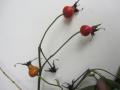 aronia-arbutifolia-var-appelroos-1-usa