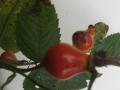 aronia-arbutifolia-var-appelroos-usa