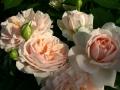 garden-of-roses-3