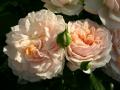 garden-of-roses