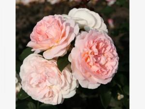edelrose-maerchenzauber-kordes-rosen