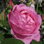 Bourbon rose.